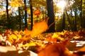 Picture oak tree Fall yellow leaves, scenic, Falling oak yellow leaves, beautiful, forest, macro, forest, macro, ...