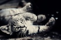 Picture black and white, muzzle, photo, wool, eyes, cat