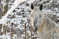 Picture winter, forest, face, snow, horse, horse