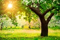 Picture trees, nature, dandelions, the sun, garden, spring, Apple