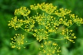 Picture bright, macro, dill, inflorescence, Greens