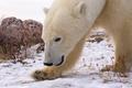 Picture snow, stone, polar bear