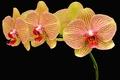 Picture flowers, black background, orchids, petals