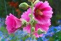 Picture line, flowers, petals, garden, mallow