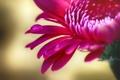 Picture flower, red, drop, petals, chrysanthemum