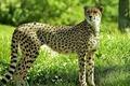 Picture forest, grass, glade, Cheetah, cheetah, guepard