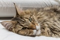 Picture cat, look, Maine Coon, face, cat