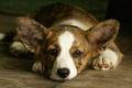 Picture dog, Welsh Corgi, background, Welsh Corgi, ears, face