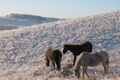 Picture horse, horse, snow, winter, pasture, frost, hill, Kokshetau, pasture HD Wallpaper for desktop, Kazakhstan, the ...