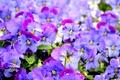 Picture viola, Pansy, purple