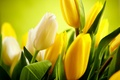Picture flowers, flowers, tulips, tulips, white, leaves, yellow, buds