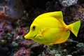 Picture yellow, animal, fish