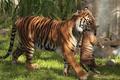 Picture tigers, tiger, motherhood