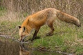 Picture drink, Fox, profile, nature, grass, Fox, pond
