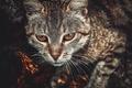 Picture cat, toning, look, bronze, eyes, cat
