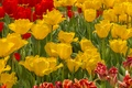 Picture field, spring, meadow, tulips