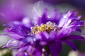 Picture Bud, Astra, petals, lilac, flowering