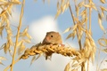 Picture The mouse is tiny, macro, mouse, ears, Harvest Mouse