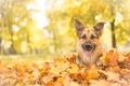 Picture dog, look, shepherd, face, autumn, German shepherd, leaves