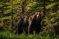 Picture bear, forest, grizzly